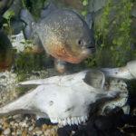 Piranhas Regenwald